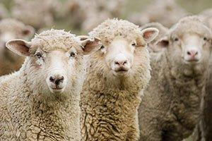 Achat de titres : ne vous transformez pas en mouton !