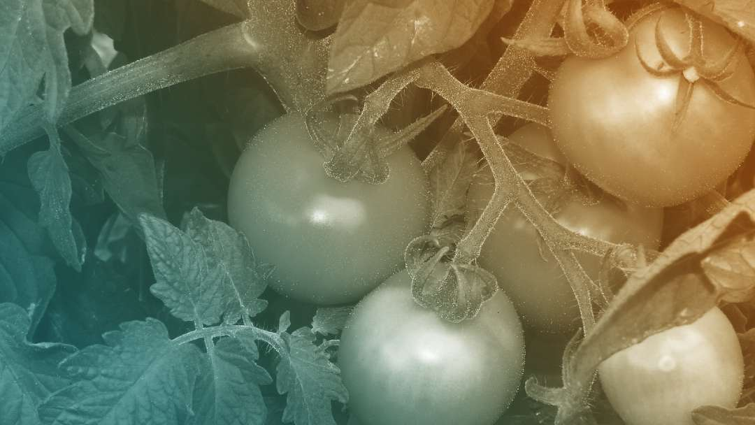 Tomates à différente maturité