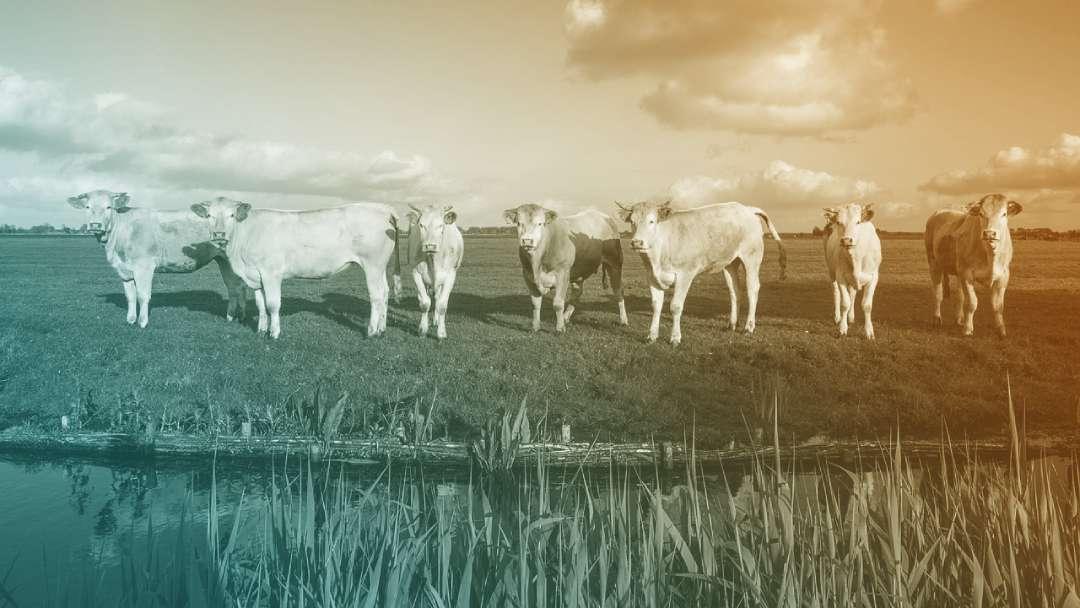 troupeaux de vaches dans un pré